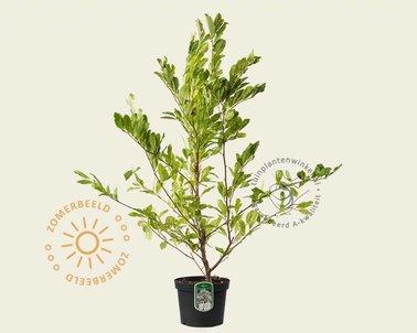 Klik hier om Magnolia stellata te kopen