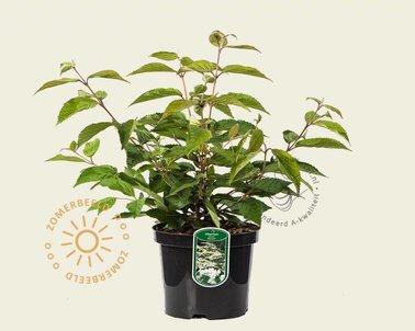 Klik hier om Viburnum plicatum 'Mariesii' te kopen
