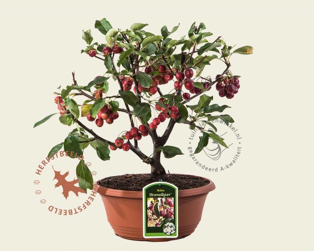 Malus 'Braendkjaer' - bonsai in schaal
