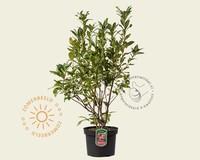 Rhododendron 'Homebush'