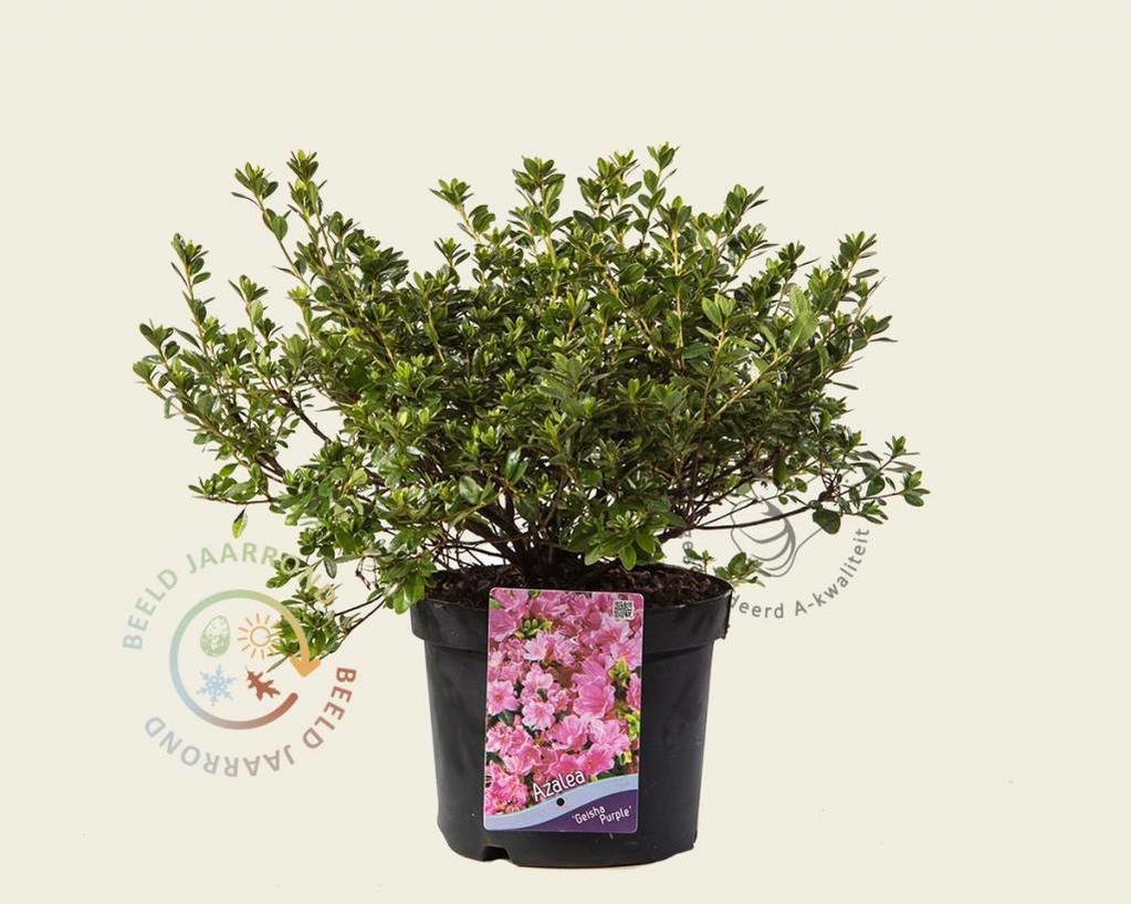 Rhododendron Azalea 'Geisha Purple'