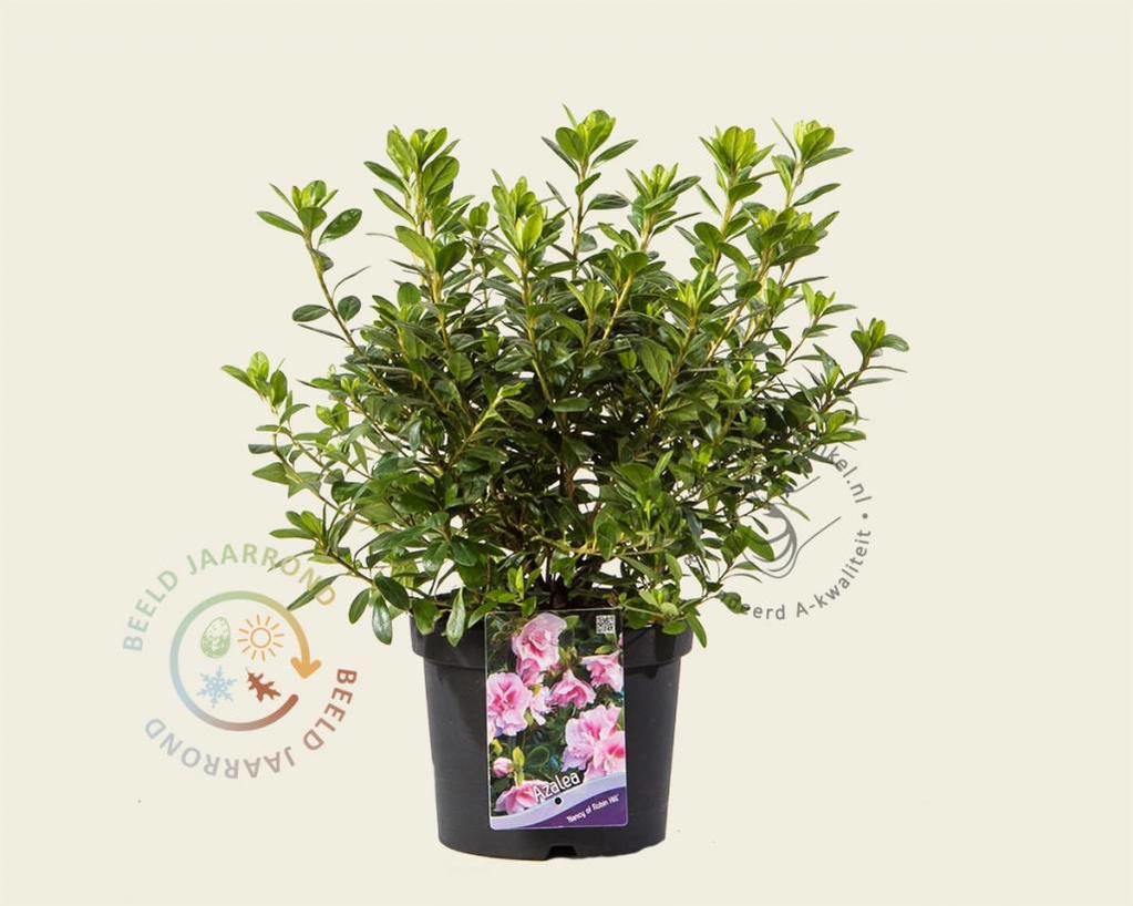 Rhododendron Azalea 'Nancy of Robin Hill'