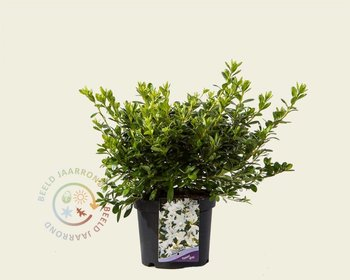 Rhododendron Azalea 'Pleasant White'