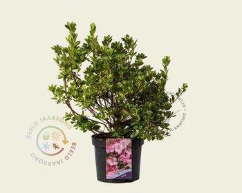 Rhododendron Azalea 'Kirstin'