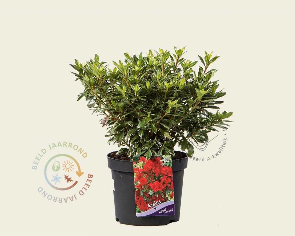 Rhododendron Azalea 'Hotshot Variegata'