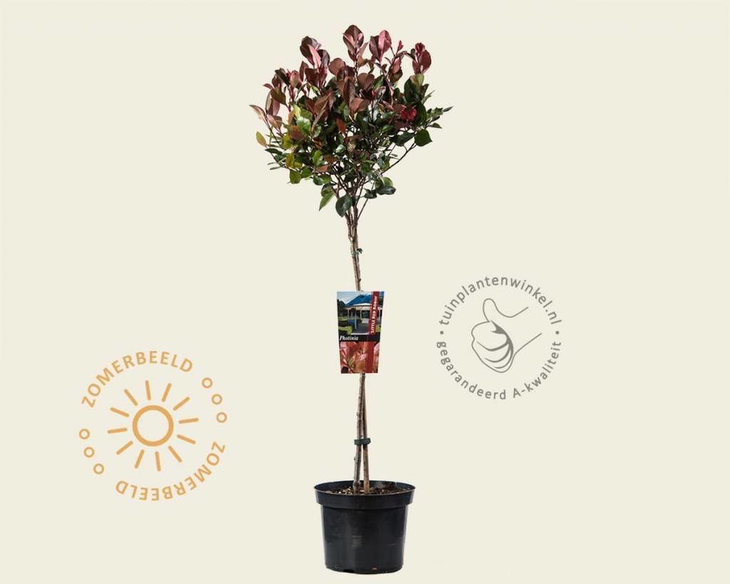Photinia fraseri 'Little Red Robin' - 50 cm stam