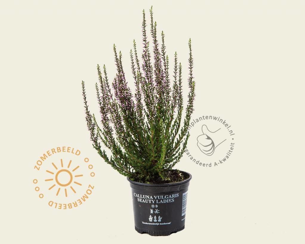 Calluna vulgaris 'Beauty Ladies Laurentine' - Paars