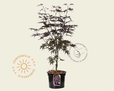 Klik hier om Acer palmatum 'Bloodgood' te kopen