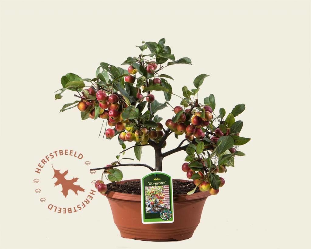 Malus 'Gorgeous' - bonsai in schaal