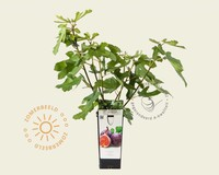 Ficus carica 'Rouge de Bordeaux'