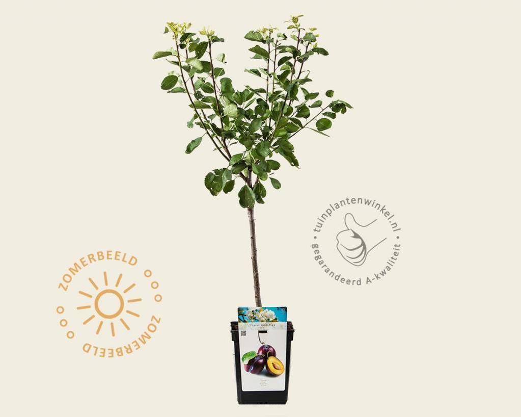 Prunus domestica 'Opal' - patio