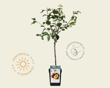Klik hier om Prunus domestica 'Victoria' - patio te kopen