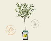Prunus domestica 'Reine Claude Verte' - patio