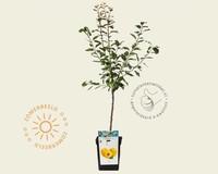 Prunus domestica 'Mirabelle de Nancy' - patio