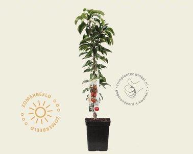 Klik hier om Malus domestica 'McIntosh' - zuilvorm te kopen