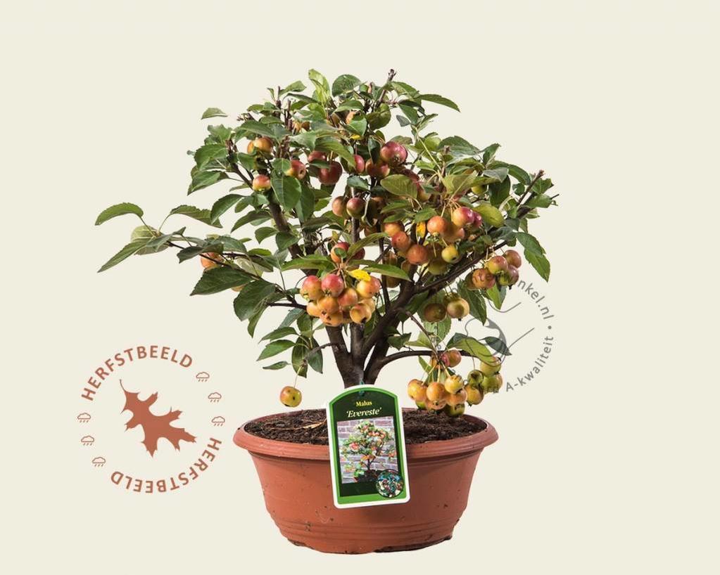 Malus 'Evereste' - bonsai in schaal