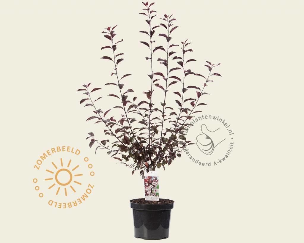 Prunus cistena