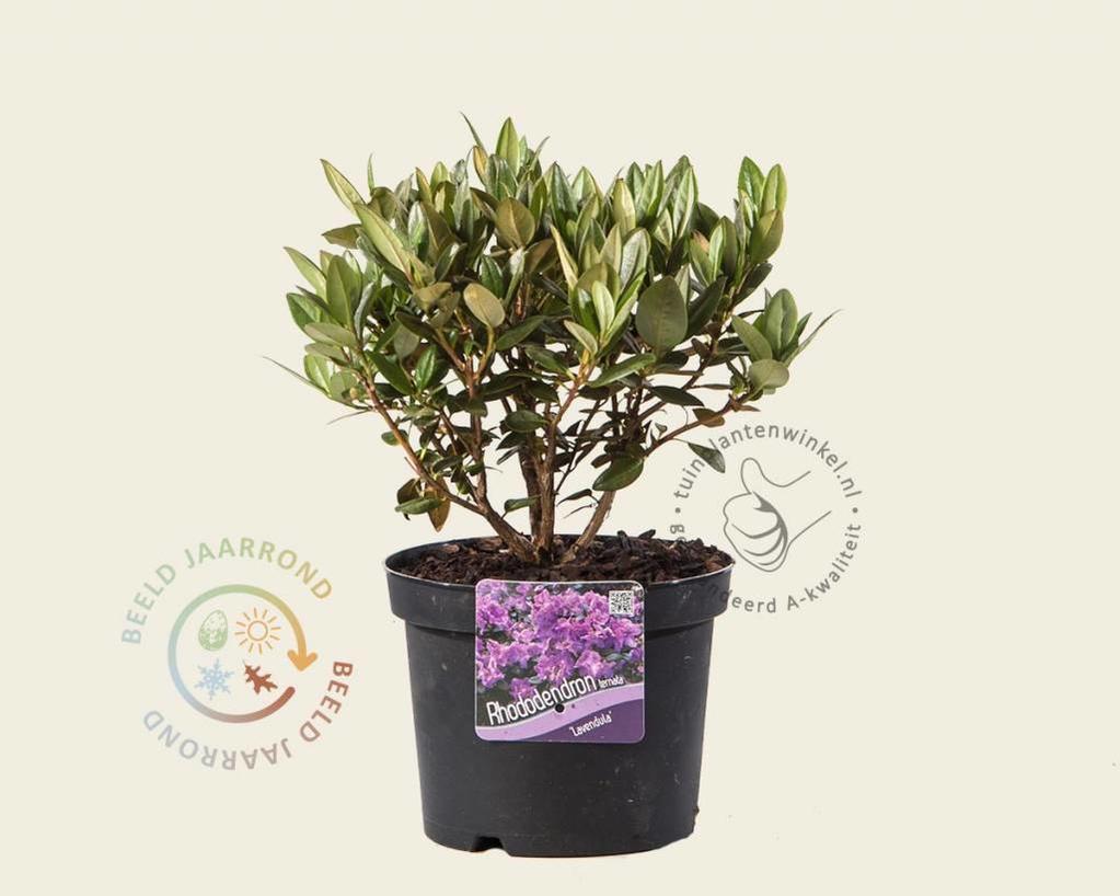 Rhododendron 'Lavendula'
