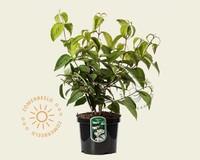 Viburnum plicatum 'Shasta'