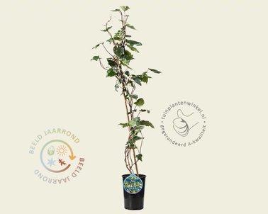 Klik hier om Hedera colchica 'Gloire de Marengo' te kopen