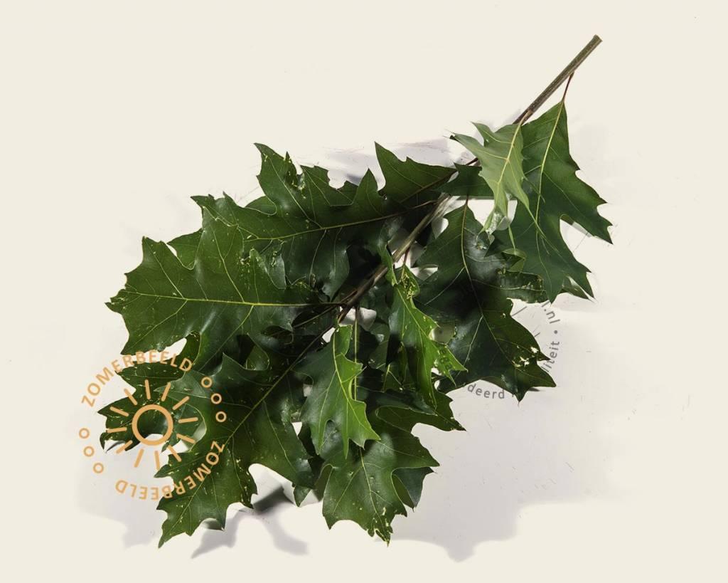 quercus palustris 39 green dwarf 39 200 cm stam moeraseik vertrouwd online kopen. Black Bedroom Furniture Sets. Home Design Ideas