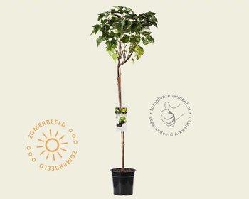 Ribes nigrum 'Titania' - 70 cm stam
