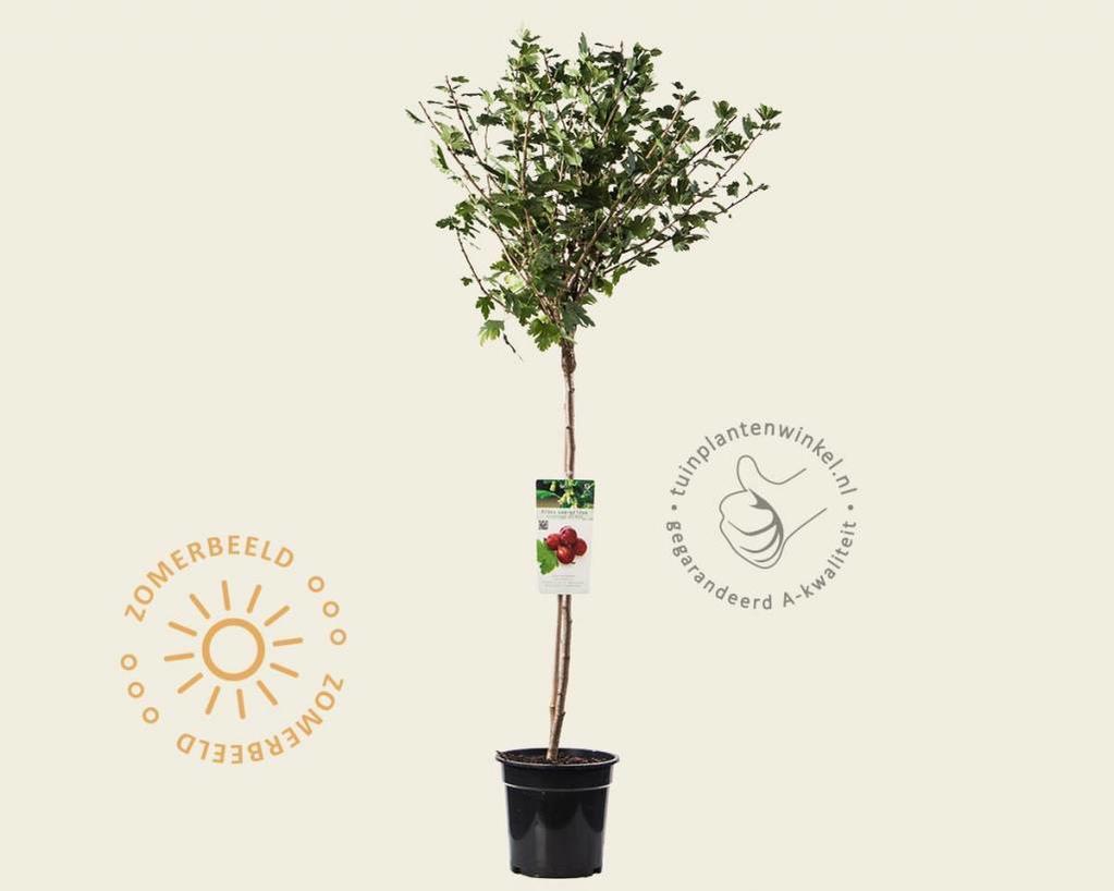 Ribes uva-crispa 'Hinnonmaki Rod' - 70 cm stam