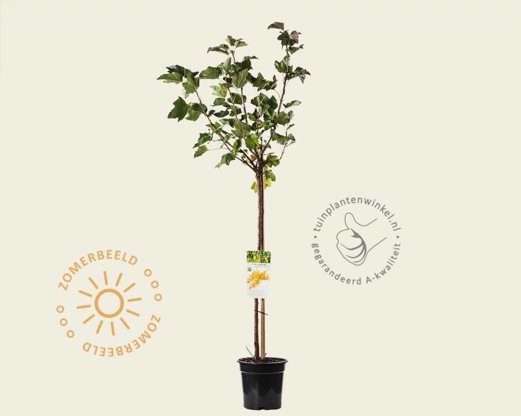 Ribes rubrum 'Werdavia' - 70 cm stam
