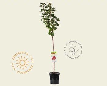 Ribes rubrum 'Jonkheer van Tets' - 70 cm stam