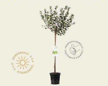 Ribes uva-crispa 'Hinnonmaki Grun' - 70 cm stam