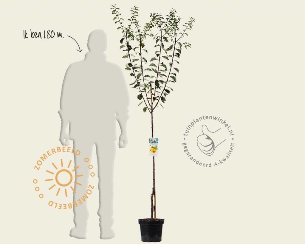 Prunus domestica 'Mirabelle de Nancy' - halfstam
