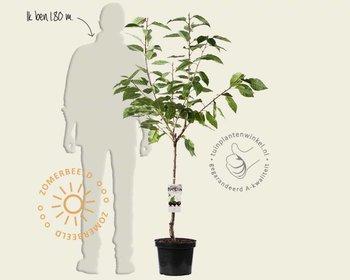 Prunus avium 'Regina' - laagstam