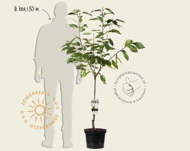 Klik hier om Prunus avium 'Regina' - laagstam te kopen