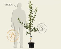 Malus domestica 'Golden Delicious' - laagstam