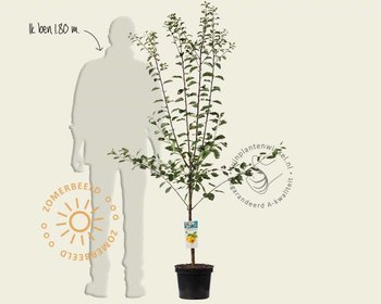 Prunus domestica 'Mirabelle de Nancy' - laagstam