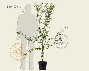 Prunus domestica 'Opal' - laagstam