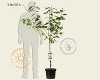 Prunus avium 'Sam' - laagstam
