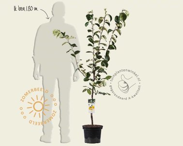 Klik hier om Cydonia oblonga 'Vranja' - laagstam te kopen