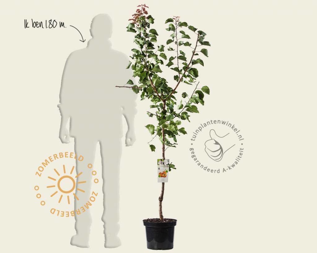 Prunus armeniaca 'Bergeron' - laagstam