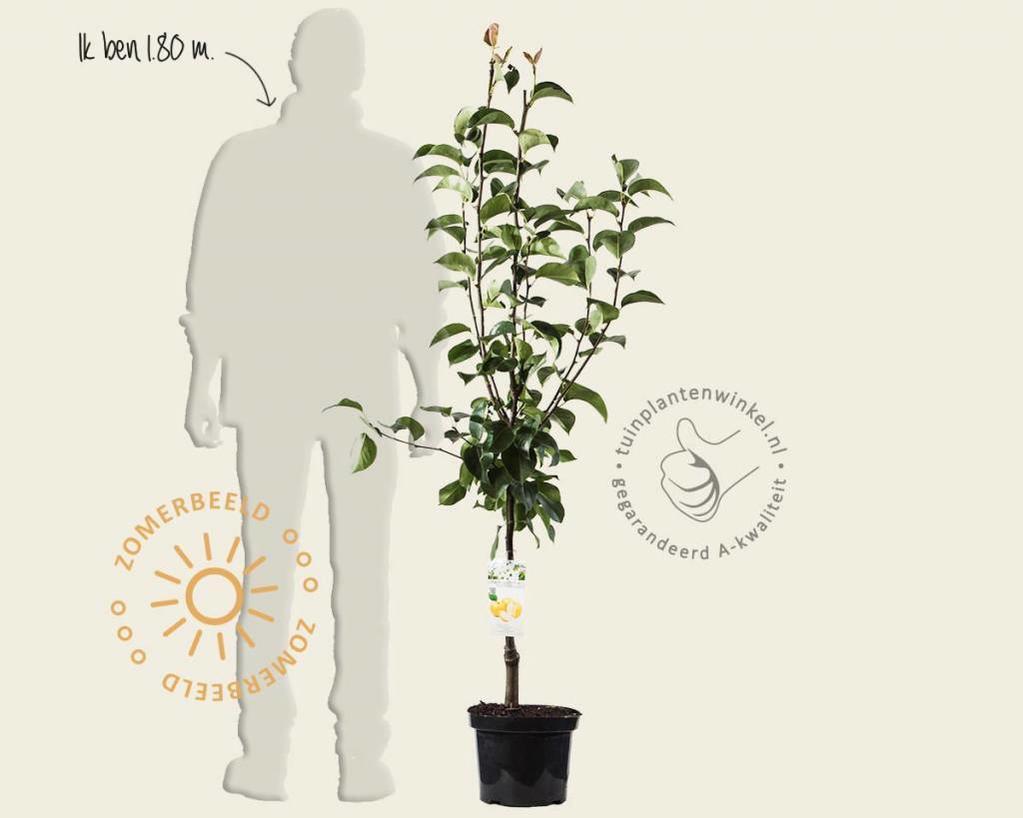 Pyrus pyrifolia 'Niitaka' - laagstam