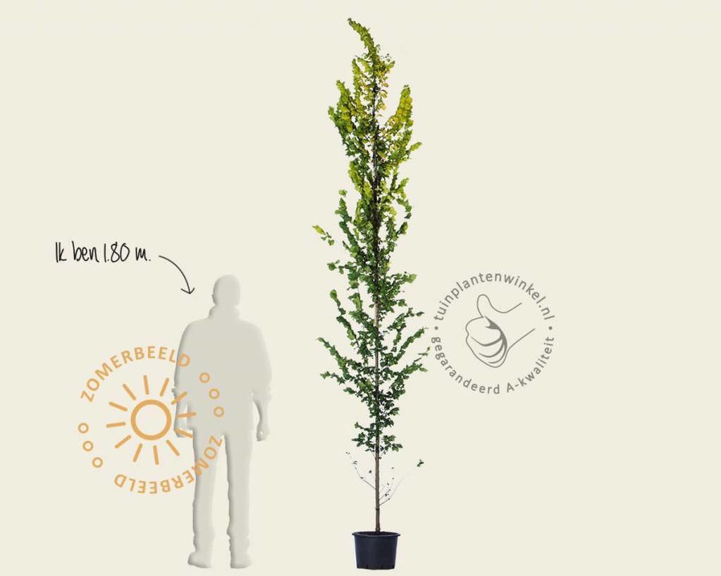 Ulmus x hollandica 'Wredei' - beveerd