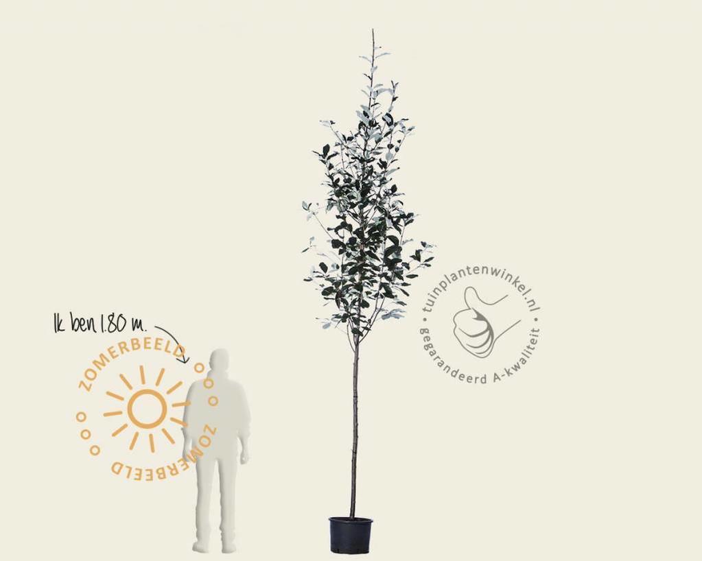 Sorbus thuringiaca 'Fastigiata'