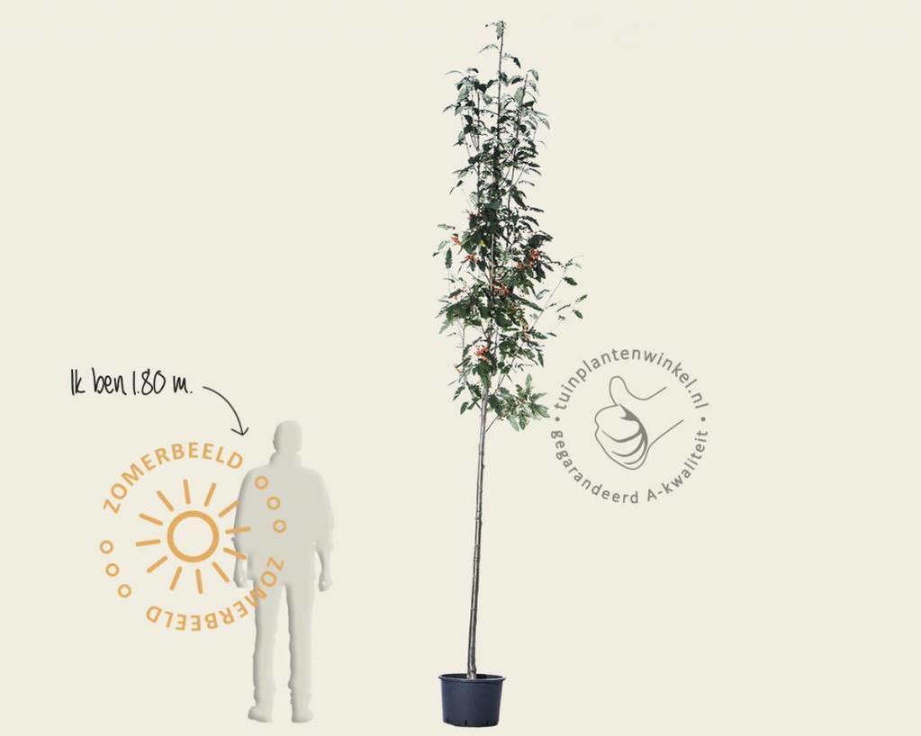 Sorbus intermedia