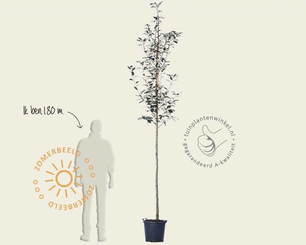Sorbus aria 'Magnifica'