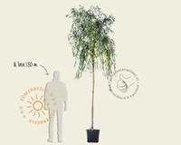 Salix x sepulcralis 'Chrysocoma'