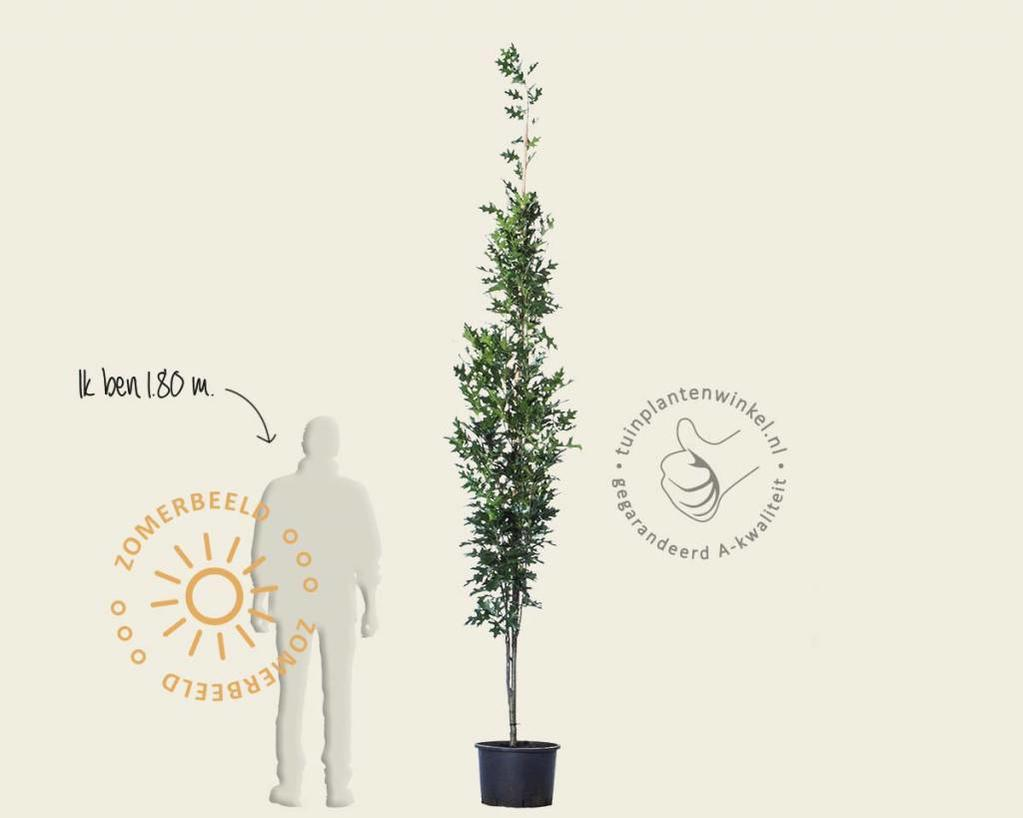 Quercus palustris 'Green Pillar' - beveerd