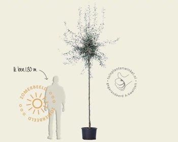 Pyrus salicifolia 'Pendula' - 200 cm stam