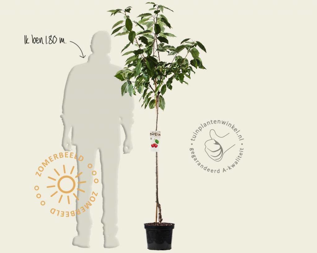 Prunus avium 'Sunburst' - halfstam
