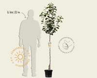 Pyrus pyrifolia 'Niitaka' - halfstam