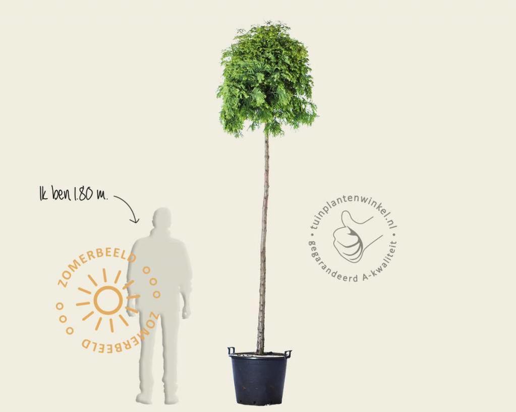 Metasequoia glyptostroboides 'Matthei Broom'